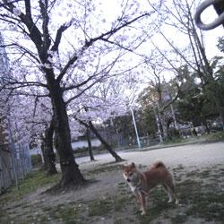 20110403-saku-2.jpg