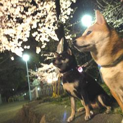 20110405-sakura.jpg