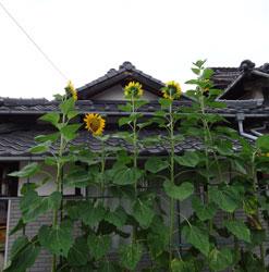 20120713-himawari-2jpg.jpg
