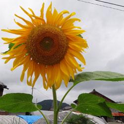 20120713-himawari.jpg