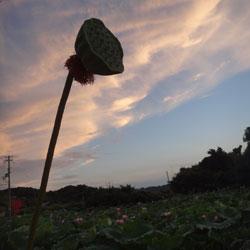 201208111-hasu-3.jpg